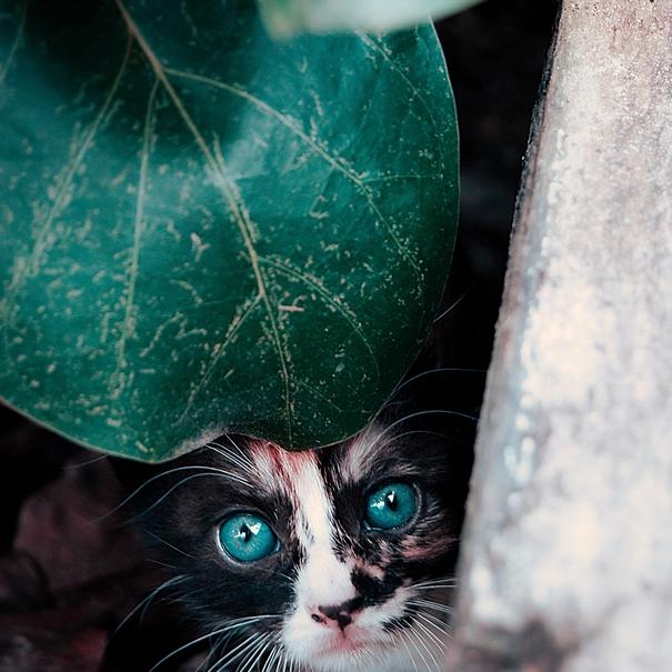 Chaton yeux bleus nature