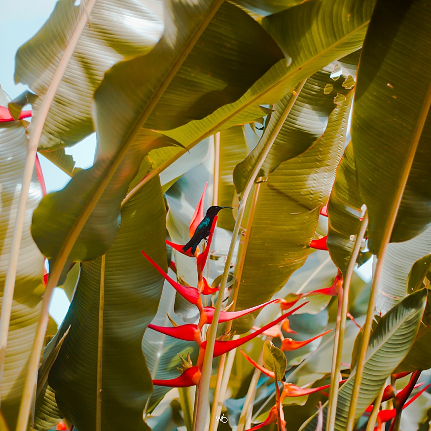 Colibri guadeloupe bird of paradise