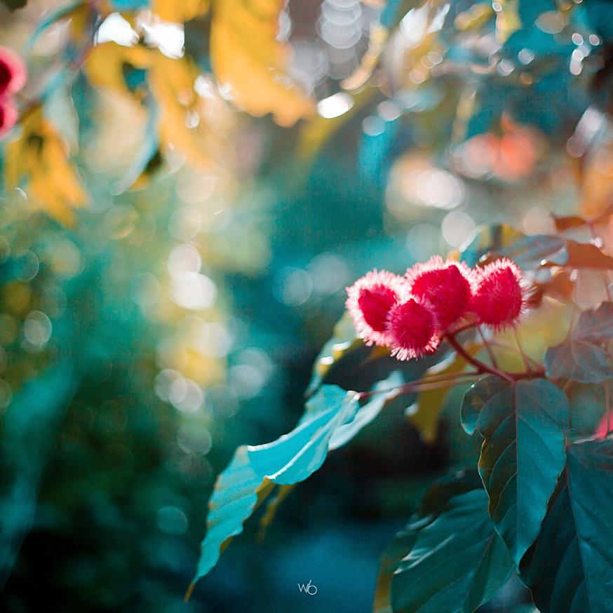 Roucou plante guadeloupe nature photographe